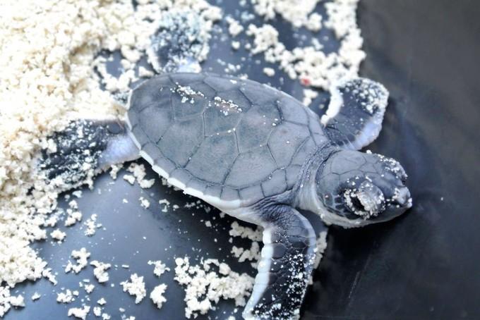 """月兰卡央领养小海龟来袭!带上孩子去领养小海龟吧!"""""""
